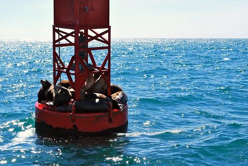 Sea Lions on a Buoy Near Dana Point Harbor