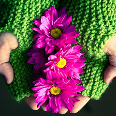 a handful of pink daisies (herreragirls {{Heidi}}) Tags: pink green yellow hands bright knit gloves dasies brightpink fingerlessgloves storeboughtdasies holdingdaisies knitedgloves