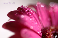 Gerbera Daisy (Explored) (linlaw39) Tags: pink flower nature wet weather sparkles scotland petals interestingness interesting gallery bokeh explore raindrops waterdrops sparkling birthdayflowers gerberadaisy explored competitionwinner colorphotoaward canoneos500d macroflowerlovers march2010 beyondbokeh vividstriking linlaw39 contest3unforgettableflowers