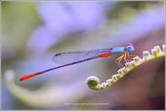 Damselfly (Ericbronson's Photography) Tags: macro nature interesting singapore damselfly naturesfinest aplusphoto ericbronson