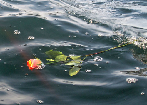 Rose on the Sound