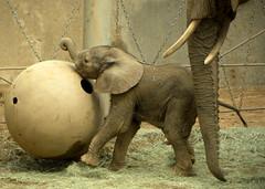 The Prancer (The Brit_2) Tags: park wild elephant animal san african diego calf