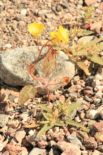 Death Valley Wildflower Bloom 2010
