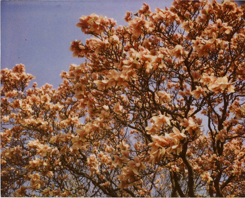Magnolia Tree in Spring