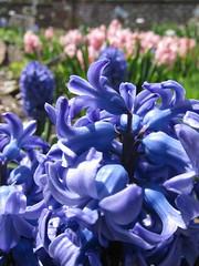 Blue & Pink Hyacinth