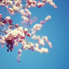 Monday Blues (Morphicx) Tags: pink blue blur dutch dof blossom bokeh 5d japanesecherry 2470f28l japanesecherryblossom bokehwhore