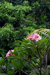 frangipani-pink