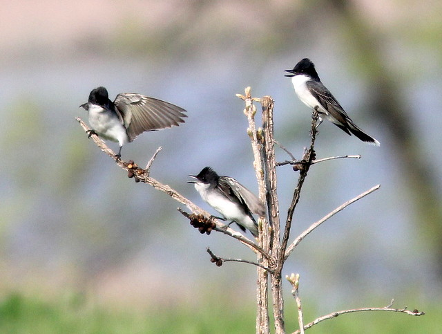 Eastern Kingbird dust-up 20110810