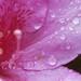 花びらの雨粒