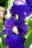 Seedling Iris 2 (Mandasmac) Tags: baby fairy sissy bjd resin seedling elfdoll