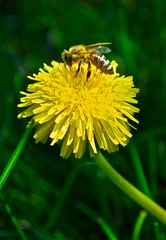 Bumble Bee (HaleyWilke) Tags: black macro yellow closeup bug spring interesting stripes dandelion bee pollen bumble