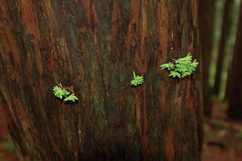 redwood sprigs.jpg