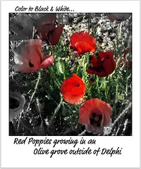 Poppies - Arachova (Outside of Delphi) (pjink11) Tags: flowers red europe 2006 greece poppies wildflowers