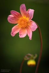 A Flower on Green (mikel.hendriks) Tags: flowers flower nederland thenetherlands bloemen botanicgardens bloem universiteitutrecht deuithof universityofutrecht forthoofddijk botanischetuinen canoneos50d sigma50150mmf28apoexdciihsm