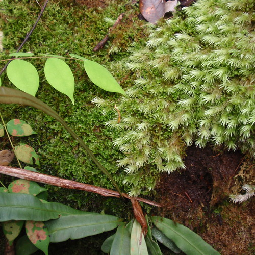 Bako jungle moss