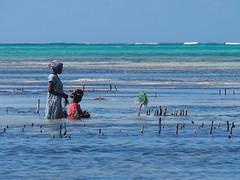 Zanzibar 2015 (hunbille) Tags: tanzania zanzibar jambiani beach sea ocean seaweed weed farm farming challengeyouwinner cyunanimous cy2