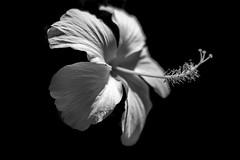 Love (Rob₊Lee) Tags: flower white hibiscus sun light southkorea malaysia hawaii national stigma shadow petal minimal blackandwhite bnw monochrome closeup pretty
