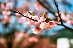Sakura (紅襪熊) Tags: 平菁街 陽明山平等里 寒櫻 meyeroptikgörlitzoreston50mmf18zebra meyeroptik görlitz oreston 50mmf18 zebra m42 50mm f18 meyeroptikgorlitzoreston50mmf18zebra gorlitz meyeroptikgörlitzoreston50mmf18 bokeh 陽明山 花 flower 春 spring 花季 賞花 fujica st705 底片機 底片 銀鹽 fujifilm fuji fujicast705 filmphotography sakura 櫻 櫻花 cherryblossoms pink flowers blossom blossoms castle cherry cherryblossom cherryblossomfestival cherrytree cherrytrees garden light macro nature park plant sky travel tree trees white さくら サクラ 桜 花見 賞櫻 日本 japan 粉 粉紅