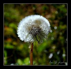 Blowball / Bifukolla (sa B) Tags: old light summer brown white blur flower macro green nature iceland nikon europe flickr colours blowball nikond60 bifukolla sab