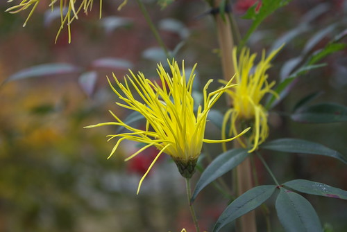 Saga chrysanthemum (嵯峨菊)