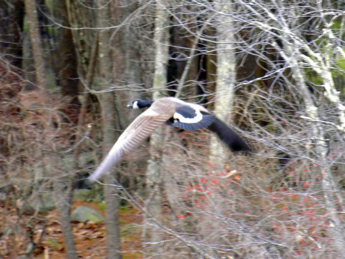 broadmoor goose flying