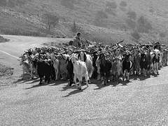 Goats have fun! (duqueros) Tags: road blackandwhite bw mountain nature berg animals island grey tiere blackwhite europa europe shepherd strasse natur pass hellas insel greece goats sw curve schwarzweiss corfu korfu kerkyra griechenland goatherd ziegen kurve pantokrator hirte herde ionischeinsel geiter southeasteurope ziegenherde  sdosteuropa  duqueiros