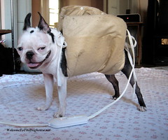 Some like it hot. (WelcomeToTheDoghouse) Tags: dog hot smiling boston puppy funny pad terrier una panting electrical heating