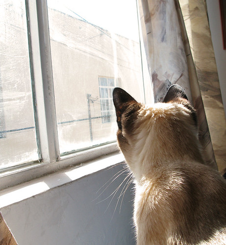 siamese cat looking out the window