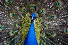(Ruben F. Castro) Tags: nature canon peacock peafowl 400d flickraward vosplusbellesphotos