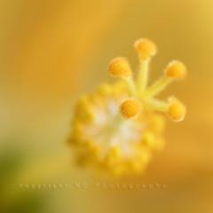 Just living is not enough, one must have sunshine, freedom, and a little flower... (Kiwi_GaL) Tags: macro sunshine yellow nikon fuzzies d300 sigma105 quotebyhanschristiananderson soithoughtillpostsomethingbrightandcheeful itwasawarmsunnydaytoday tosharethesunshinewithsomeofyouwhoisabitcold