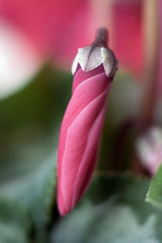 フリー画像| 花/フラワー| シクラメン| 蕾/つぼみ| ピンク/花|       フリー素材|