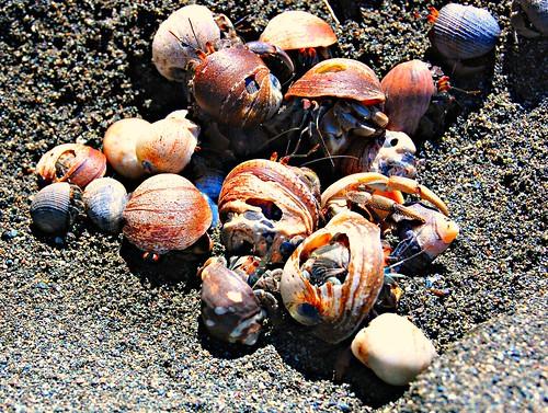 Costa Rica_La Sirena_hermit crabs