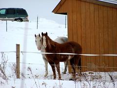 Curious horses (Pankaj Kulkarni) Tags: winter horses frozenlake