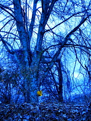 solitary yellow (LauraSorrells) Tags: blue color tree yellow contrast woods colorful jasper december moody deep swing filter ethereal magical 2009 smalltown otherworldly
