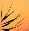 Graminée au coucher du soleil