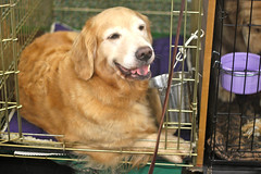 Golden Gate Kennel Club Dog Show: Golden Retriever