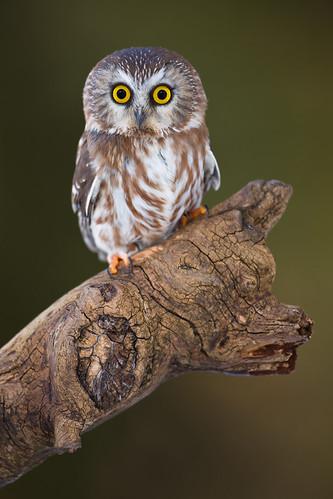 Saw-Whet Owl von Stephen Oachs