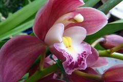 Cymbidium Unknown [Father Raymond 6] orchid hybrid (nolehace) Tags: nolehace cymbidium unknown father raymond 6 orchid hybrid 110 fz35 flower diamondclassphotographer flickrdiamond sanfrancisco