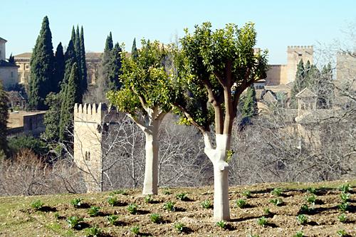 alhambra-tree