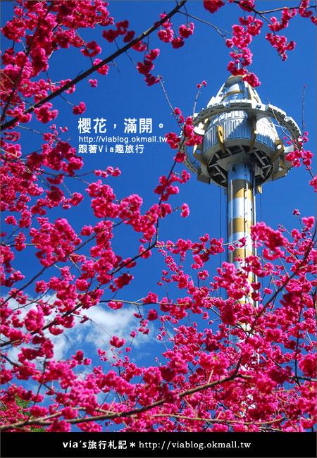 【九族櫻花季】櫻花滿開!最浪漫的九族文化村櫻花季13