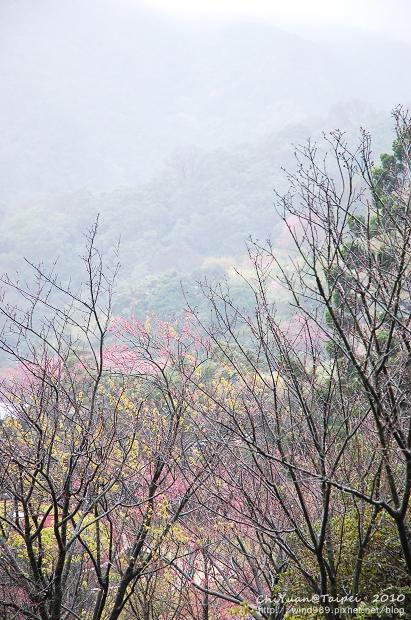 陽明山櫻花林01.jpg