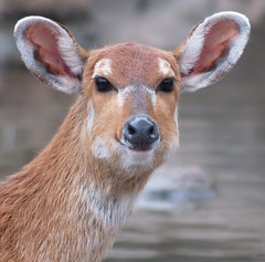 African antelope in the rain / Antilope bajo la lluvia / Antlope africano na chuva (jovidoes) Tags: life naturaleza art nature rain animal fauna mammal photo lluvia interesting flickr gallery peace foto photographer arte natural photos top african free paz ears explore ojos vida antelope animales mirada mammals flu libre antilope photostream belleza visin percepcion finearts mojado africano equilibrio armona tranquilidad mamiferos mamfero hembra mamferos mamifero atencin orejas sellection ouvidos expolore frenre jovidoes joaquinvicente joaqunvicenteesp joaquinvicenteespilluch joaquinespi joaquinespilluch