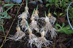 Elephant Garlic (Before Planting)