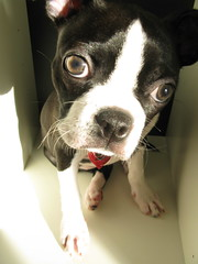 sunlight (thekims) Tags: puppy bostonterrier rizzo