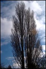 Poplar Tree - February