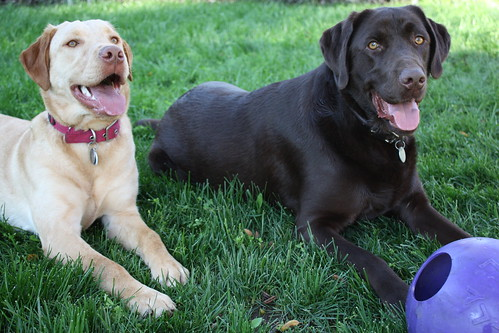 Jackson and Charlie - Labrador Retrievers