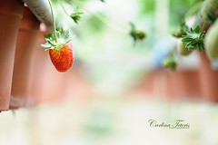 Forever. (cteteris) Tags: red food holiday fruit yummy strawberry berry planters farm grow malaysia agriculture cameronhighlands 105mm28 nikond700 gettymalaysiafeb gettyimagessingaporeq2