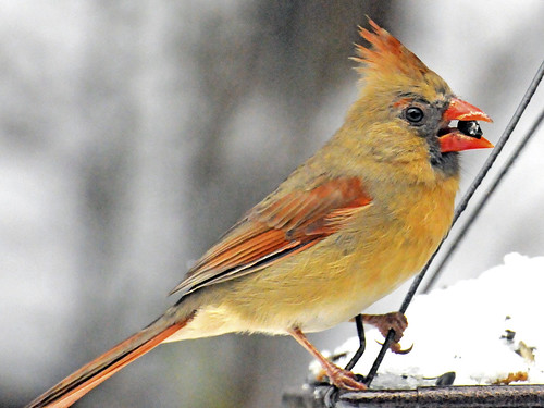 female cardinal february