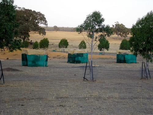 driveway trees - 2