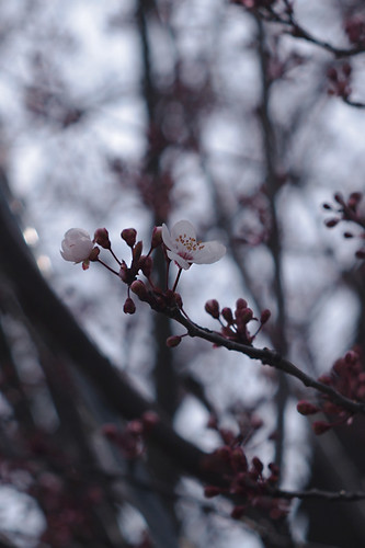 この春、初めての桜花 : だと思われ。